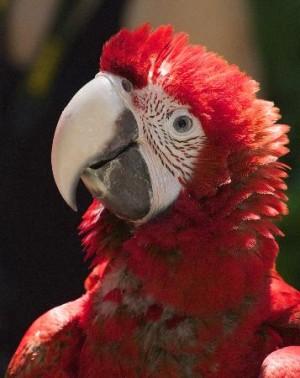 Pappagallo rosso (Luka2389, lug 2013)